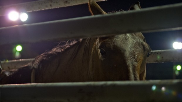 A bronc stares through the bars of his enclosure prior to having a rider attempt to remain attached for 8 seconds.
